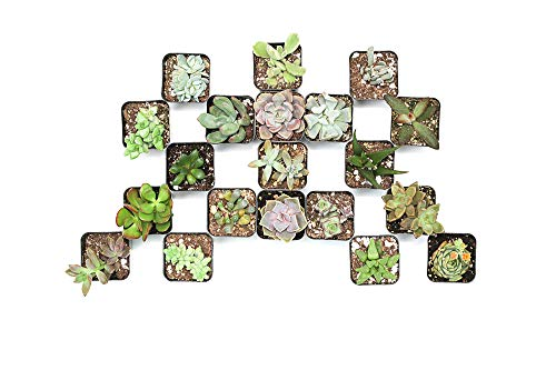"CAL Farms 2"" Beautiful Assorted Variety Succulents for Weddings or Party Favors or Succulent Gardens (Pack of 20)"