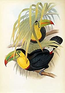 Posterazzi Short Billed Toucan Poster Print by John Glover (10 x 14)