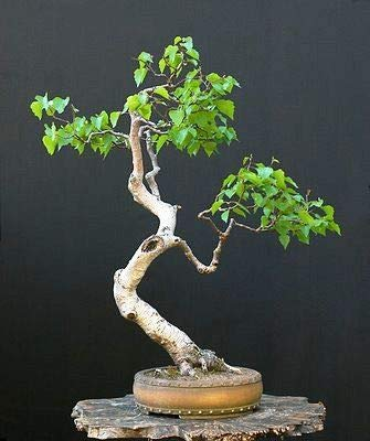 Bonsai White Paper Birch Tree Seeds for Planting | 100+ Seeds | Made in USA - Highly Prized for Bonsai, Paper Birch Tree - 100+Seeds
