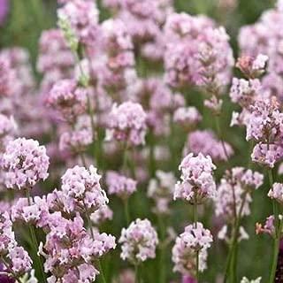Cutdek Lavender Rosea Flower Seeds (Lavandula Angustifolia) 20+Seeds