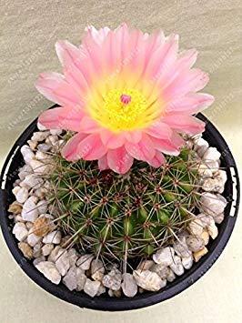 Fash Lady 100 teile/beutel Echte mini kaktus samen, seltene sukkulente mehrjährige kräuter pflanzen, bonsai topf blumensamen, zimmerpflanze für hausgarten 21