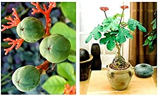 【種子】Jatropha Podagrica ヤトロファ・ポダグリカ(サンゴ油桐)◎英名『仏陀の腹』と呼ばれるトックリ状の膨らみの幹◆5粒 [並行輸入品]