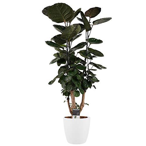 Zimmerpflanze – Fiederaralie in weißem Übertopf als Set – Höhe: 95 cm