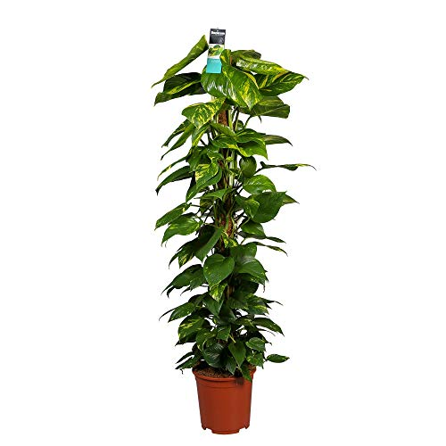 Scindapsus Epipremnum aureum | Efeutute Zimmerpflanze Rankend | Kletterpflanzen Zimmer | Höhe 120-130 cm | Topf-Ø 24 cm