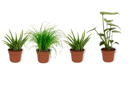 Set 4er Zimmerpflanzen - Aloe Vera...