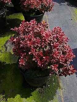 Berberis thunbergii Admiration (R) (20-25 cm) - Rote Zwergberberitze