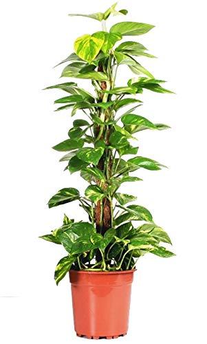 Efeutute, Scindapsus, (Epipremnum aureum), gelb grünes buntes Blattwerk, rankend, luftreinigend, am Moosstab gezogen (ca. 75cm hoch im 19cm Topf)