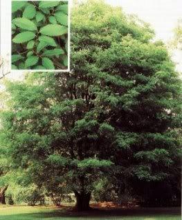 50 CHINESE ELM TREE (Lacebark) Ulmus Parvifolia Seeds