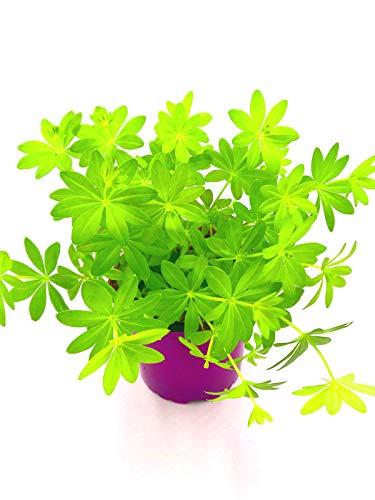 Waldmeister Galium odoratum 4stk./Kräuter Pflanze
