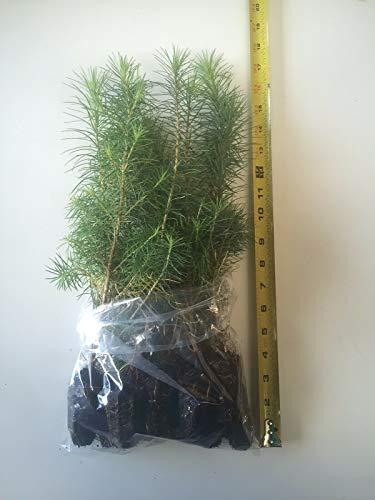 FERRY Bio-Saatgut Nicht nur Pflanzen: 10 Japanische Lärche (Larix kaempferi) - Bonsai oder Lands 10-18 100 Seeds es Tl