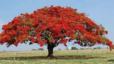 Flamboyant Flame Tree Seeds to Grow | 10 Seeds | Delonix regia, Prized Bonsai