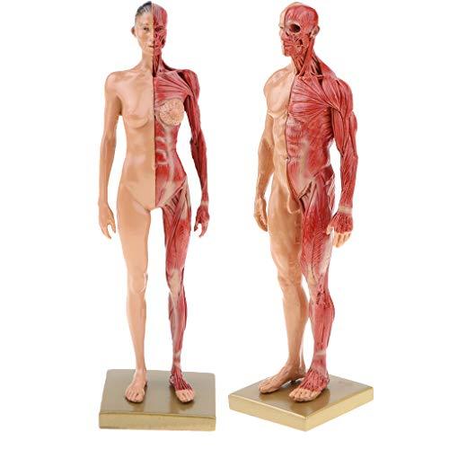 Sharplace 11'' Modelo de Anatomía Humana Figura Femenia Masculina Muscular Exhibición para Enseñanza Escolar