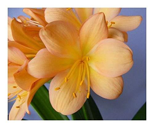 Clivia Pinky Cameron - Clivia orange avec rose - 1 graines