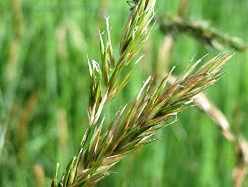 Seeds Popular brand in the world Sweet Vernal Vanilla store Grass Anthoxanthum
