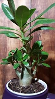 HUGE SALE ! 3 days ! Adenium obesum Desert Rose Well Rooted perfect 4 bonsai