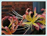 リコリス球根 - マルチカラーの美しい植物の球根と花、家族のバルコニーの鉢植えの植物,20 球根