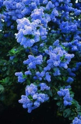 25 Semillas azul lila árbol fragante Hardy perenne de flores Jardín de arbustos Bloom