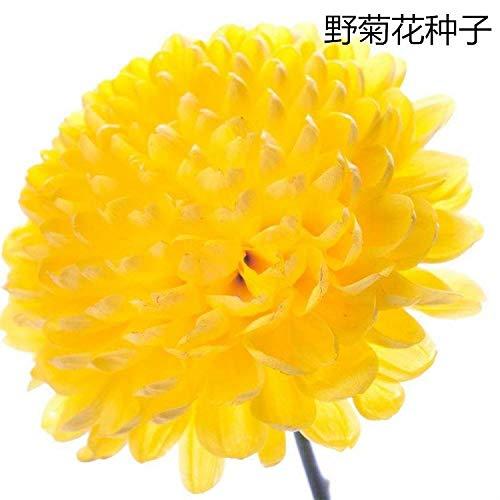 Aerlan Fleurs Sauvages en mélange Graines,Graines de chrysanthème jaune-1000 Capsules,arôme épanoui graines