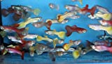 Family of (25) Fancy Guppies Live Tropical Fish for Aquarium Pond or Fish Tank