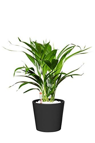 EVRGREEN | Zimmerpflanze Goldfruchtpalme in Hydrokultur mit schwarzem Topf als Set | Golfblattpalme | Chrysalido carpus Lutescens
