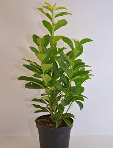 immergrüner Kirschlorbeer Prunus laurocerasus Genolia -R- 40-60 im 3 Liter Pflanzcontainer