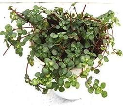 CAPPL Elegant Pilea Glauque Aquamarine Green Color Plant (Pot Included) with Fertilizer & Plate Free