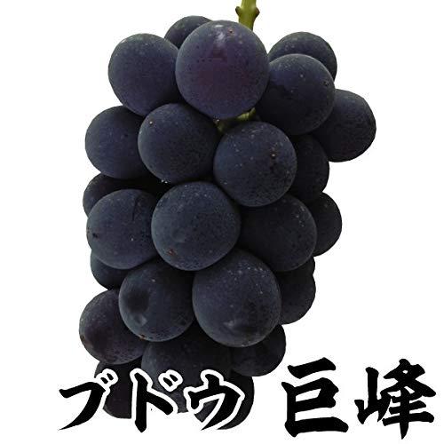 国華園 果樹苗 ブドウ 巨峰 1株