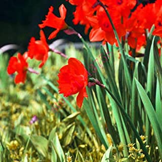 AGROBITS semillas 100pcs narciso (no bulbos de narcisos), semillas de flor del narciso plantas acuáticas, flor perenne para las mini plantas de jardín: 9