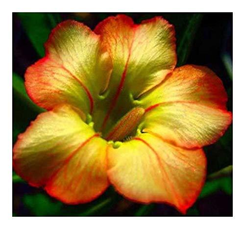 Adenium obesum Honey - Rose du désert - Faux baobab - 3 graines