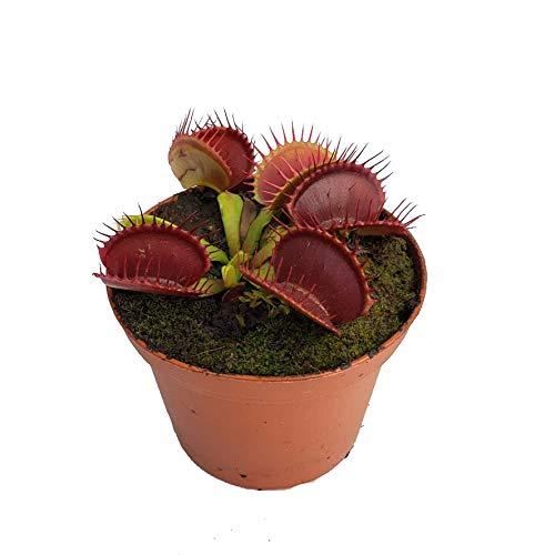 Venus Flytrap 'B52' Carnivorous Plant, Dionaea muscipula, Live Arrival, Adult Plant, 3' Pot - Predatory Plants