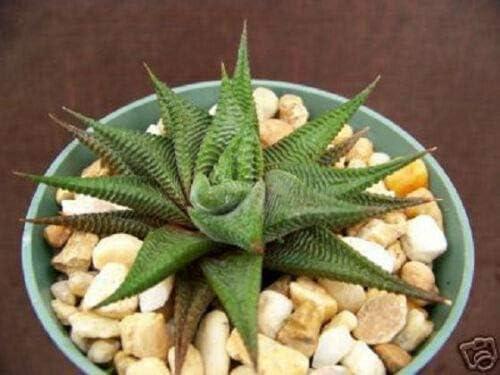 AchmadAnam Sales HAWORTHIA Limifolia Rare Succulent xeri sale Plant Exotic
