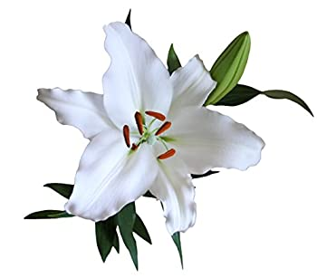 Best white asiatic lily Reviews