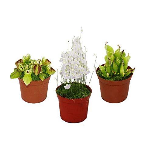 Exotenherz - Raritäten-Set Fleischfressende Pflanzen - 3 Pflanzen