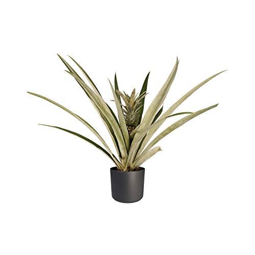 Hellogreen Zimmerpflanze - Champaca Bromelie Ananas - Ananas-Anlage - Höhe: 55 cm - Elho B.FOR Soft-anthrazit - Luftreinigend