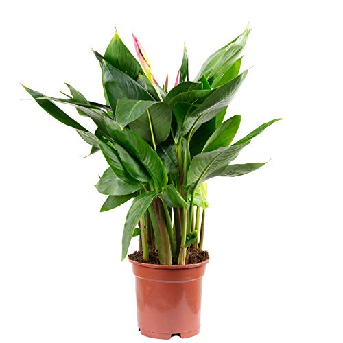 Helikonie - Heliconia psittacorum hawaii - Höhe 50 cm, Topf-Ø 17 cm