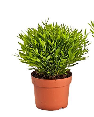 Zimmerbammbus, (Pogonatherum Monica), pflegeleichte asiatische Zimmerpflanze (1 Pflanze, im 12cm Topf)