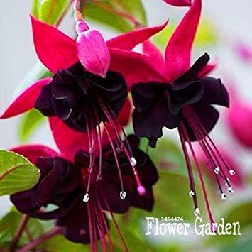 GEOPONICS Großer Verkauf! Rosa Lila Glocken Fuchsia Samen Topf Samen Samen Fuchsien 50 Samen/Lot Hängen, 834LU9