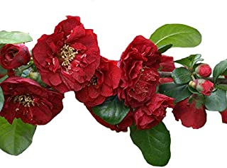 Red Dragons Blood Double Flowering Quince – Chaenomeles – Hardy - Perennial - 4