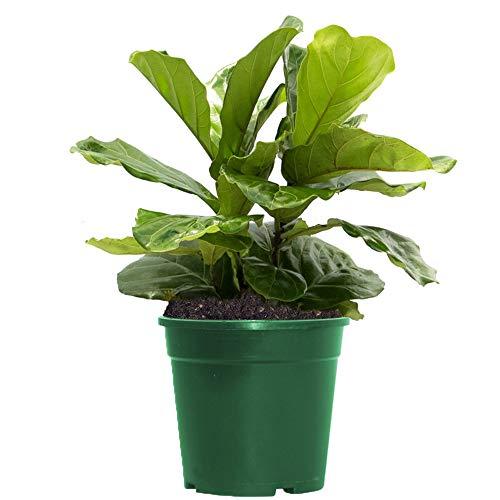 American Plant Exchange Fiddle Leaf Fig Ficus Lyrata Live Plant, 6' Pot, Top Indoor Air Purifier