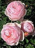 レアルラナンキュラス球根、ラブリー鉢植えの花の球根を、(ラナンキュラス種子)、多年生球根ルート庭の植物は、 - 1個5