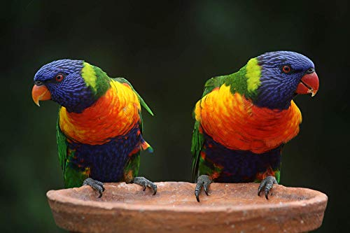 1000 Pieces Jigsaw Puzzle for Adults - Rainbow Color Lorikeets Birds - Sturdy Tight Fitting Pieces - Letters On Back - Stand Up Art Card - Rated Hard -Large 27 x 20 inch