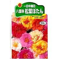 一日中開花八重咲 松葉ぼたん (449)