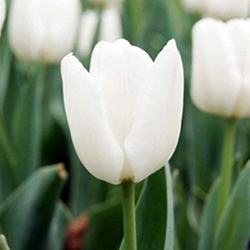 SummerRio 20/50 Stück Tulpe Samen Tulpenzwiebeln Ziertulpen Blumen Bunte Tulpen Seeds Blumensamen Garten Balkon