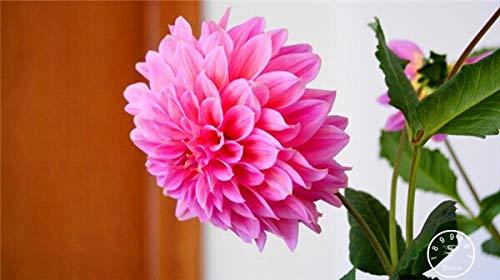 Kalash New 100pcs Dahlia Blumensamen für Garten Rosa 4