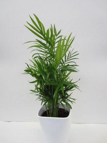 Dominik Blumen und Pflanzen, Zimmerpalme, Chamaedorea elegans, breitblättrig, 3 Pflanzen, ca. 40 cm hoch, 1 Liter Container, Zimmerpflanzen, Kübelpflanzen