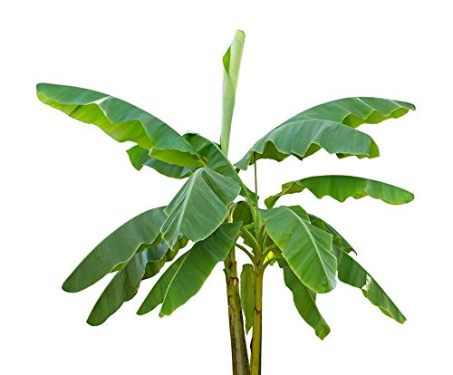 Musa velutina 10 Bananensamen rosa Zwergbanane frosthart