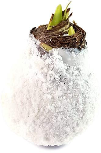 Fangblatt - Amaryllis gewachst wie EIN Schneeball - Pflegeleichte Blumenzwiebel blüht und wächst ohne Gießen - außergewöhnliche Wachs Amaryllis
