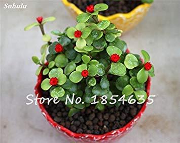 Vente chaude! Bonsai pourpier semences Balcon Plantes en pot Sementes De légumes Raras chaleur Tolerant facile croissance 100 Pcs/sac