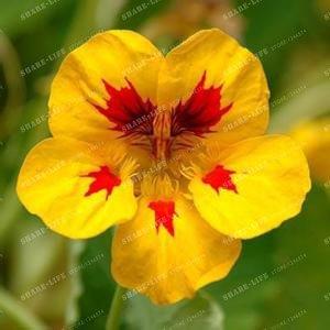 10 pièces Belle capucine Graine Creeper Tropaeolum Majus facile plantation Hanging graines de fleurs ornementales Bonsai New Garden Plant 2
