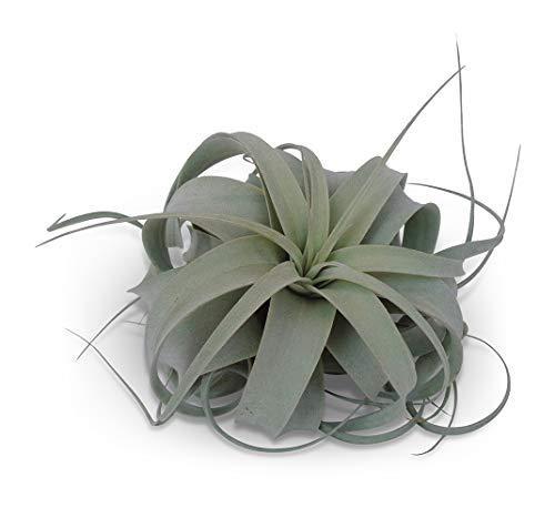 Tillandsia Xerographica Med/Lg Air Plants CTS Air Plants 4-6